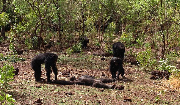 chimp-killing