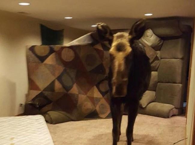 moose stuck in basement
