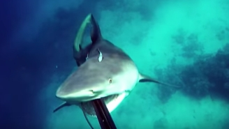 Here's The CRAZY Moment A Spearfisherman Gets Attacked By A Pissed Off Bull Shark
