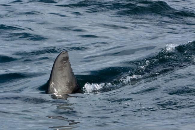 great white shark fin