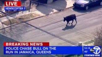 That Video Of A Cow Running Around New York City Is A Lot Better When It's Set To A Funky Phish Jam