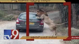 Alpha Male Lion Violently Attacks Tourists' Car While Trying To Get At The People Inside