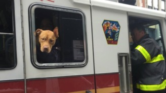 Abandoned Pit Bull Found In A Crack House Covered In Cig Burns Is Now A Healthy FDNY Firehouse Dog