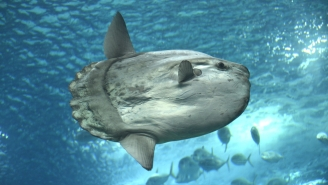This Facebook Rant About The Sun Fish (Mola Mola) Has Me Crying With Laughter