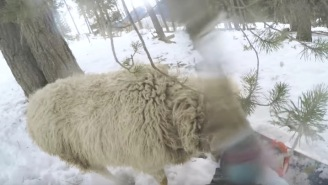 Snowboarder Crashes Into Sheep, Then Gets Rammed For His Mistake
