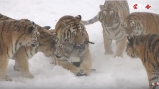 A Pack Of Fat Siberian Tigers Hunted Down A Drone And Ripped It To Shreds In Satisfying Video