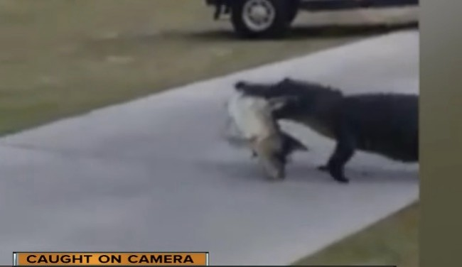 alligator walking with fish