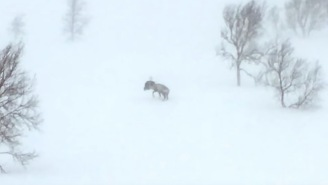 Reindeer Fighting A Wolverine In The Middle Of A Norwegian Blizzard Is Better Than MMA