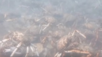 A Pack Of Murderous Spider Crabs Dismantling A Squid Is The Most Metal Thing You'll See Today