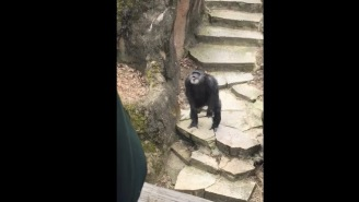 Grandma Gets Too Close To Chimpanzee Enclosure At The Zoo, Gets Hit With Nastiness