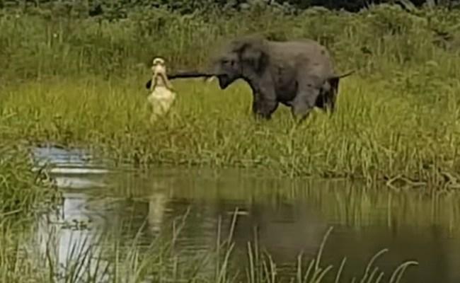 Crocodile vs Elephant Fight