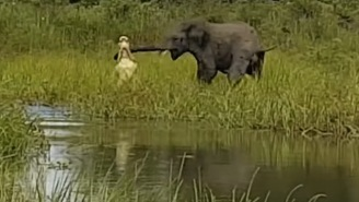 Enormous Crocodile Tries To Fight Entire Herd Of Elephants, Grabs Trunk, Craziness Goes Down
