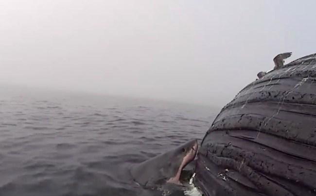 great white shark eats humpback whale