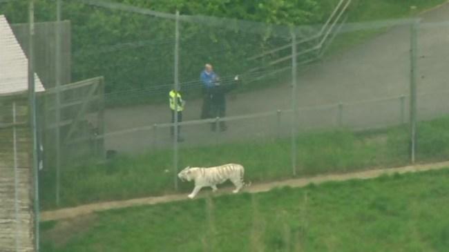 Hamerton Zoo Tiger Incident