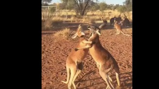 This Kickboxing Kangaroo Fight Is Better Than Mayweather-McGregor Will Ever Be