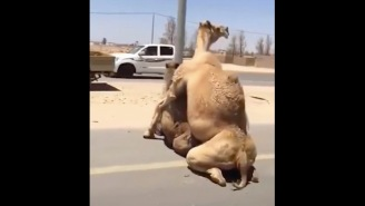 Two Camels In Dubai Cause Huge Traffic Jam When They Decide To Bang On The Highway