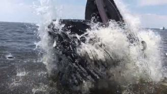 Monstrous Humpback Whale Breached So Close To Boat That It Flung Fish In It