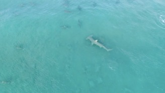 Giant Hammerhead Hunting Blacktips Is The Best Shark Week Footage And You Won't See It On TV