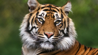 The Tigers (Clemson, Auburn, LSU, And Missouri) Are All Banding Together To Save Actual Tigers In The Wild