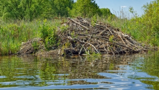 Ever Wonder What The Inside Of A Beaver's Home Looks Like? Well, It's Stranger Than You Might Think