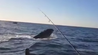 Australian Family Fishing For Snapper Accidentally Hook A Humpback Whale Who Isn't Happy About It