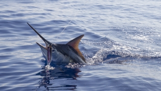 Black Marlin Fishing In Australia Is INSANE Right Now, 3 Fish Weighing 1,000+ Pounds Caught This Week