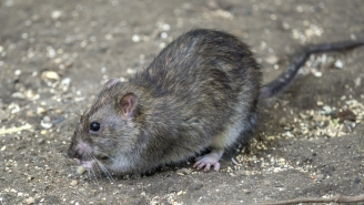 Watch Two New York City Rats Battle Each Other Til The End For A French Fry