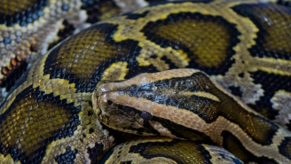 Snake Hunter Finds Record Burmese Python South Of Miami That's Big Enough To Eat A Fully Grown Man