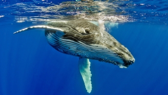 WHOA: Humpback Whale Takes Diver Under Its Pectoral Fin To Protect It From A Nearby Tiger Shark