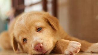Deadly Dog Flu Reports Are Greatly Exaggerated But Vets Say To Watch Out For These Symptoms