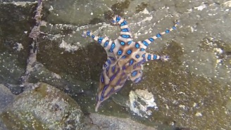 Blue-Ringed Octopus, One Of The Most Venomous Creatures On Earth, Filmed Swimming In Popular Pool