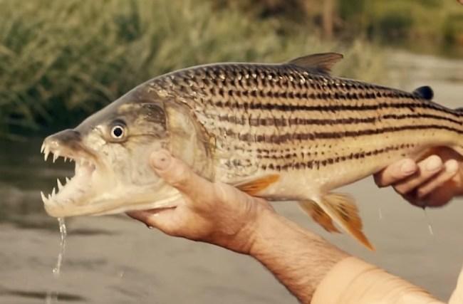 Tiger Fish Fishing Botswana