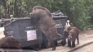 Freakishly Large Wild Boar Nicknamed 'Pigzilla' Seen Raiding A Dumpster With Three Little Pigs