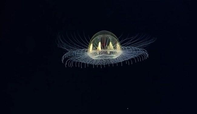 UFO jellyfish