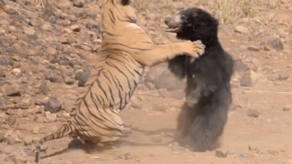 Watch A Tiger Fight Against A Bear In India