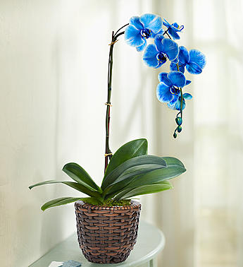 orchid flower for mom