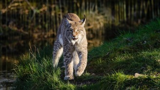 Georgia Grandmother Strangles Rabid Bobcat With Her Bare Hands After It Attacked Her