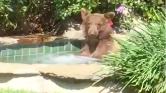 This Bear Who Wandered Into Some Dude's Hot Tub And Sucked Down His Margarita Is All Of Us