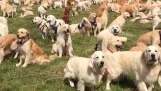 I Have Seen Heaven And It's This Party Of 361 Golden Retrievers For The Breed's 150th Birthday