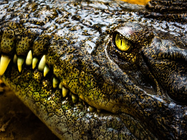 Face of Crocodile and beautiful eye and teeth