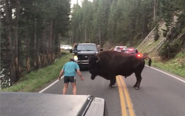 bison-yellowstone-taunt-man-arrested
