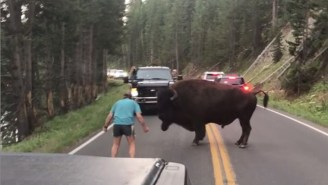 VIDEO: Man Arrested For Taunting A Bison At Yellowstone, His Third Disturbance At The Park This Week