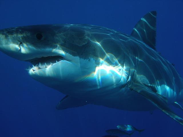 great-white-shark-shark
