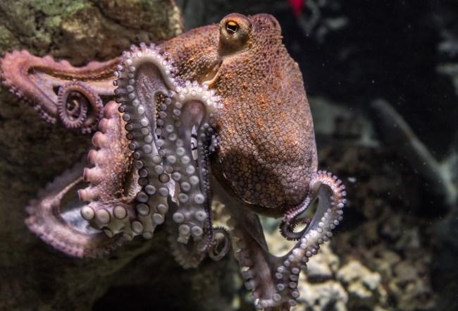 octopus mdma study