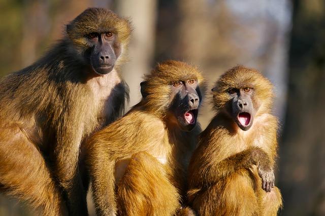 monkeys steal coronavirus blood samples india