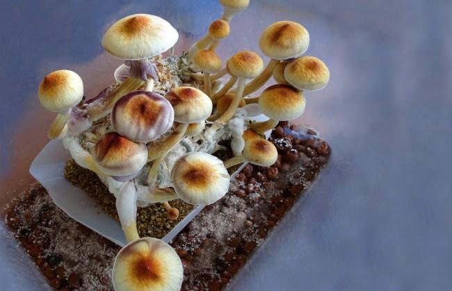 will magic mushrooms be legalized
