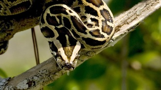 Record-Setting 17-Foot Burmese Python Caught In Florida, So We Can Revoke Their State Status, Right?