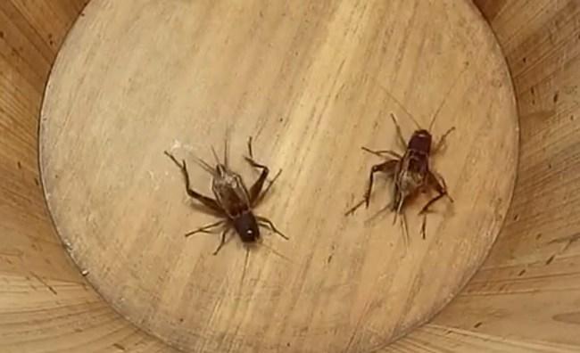 cricket_fights