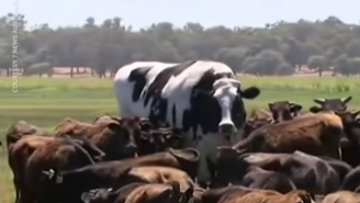 Stop What Your Doing And Look At The Biggest Damn Cow On The Planet