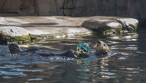 MONTEREY, CA - APRIL10:  A sea otter at the Monterey Bay Aquarium, located at Cannery Row two hours south of San Francisco, swims in a tank with fish hidden in a ball on April 10, 2018, in Monterey, California. An estimated 15 million domestic and international travelers visit California each year generating more than $100 billion in revenue and creating more than one million jobs in the arts, entertainment, recreation, food service and accomodations sectors. (Photo by George Rose/Getty Images)